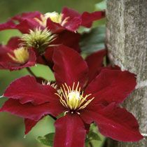 Jackmanii Group Clematis: Clematis 'Niobe' Hardy, Shade-partial shade. Flowers June to September. This would be great above herbs or climbing over the studio