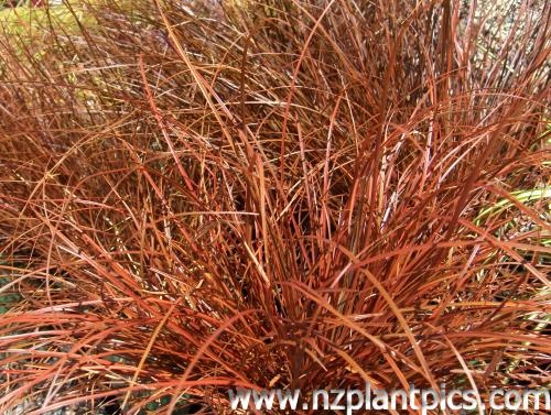 20 best images about new zealand native garden on pinterest