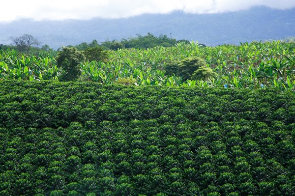 Coffee Plantation, The Coffee Region, with Plantain in the background