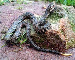 animales del llano: La Bothrops lanceolatus O MAPANARE es generalmente de color negro verdoso, con el vientre blanco o amarillo. Tiene dibujos oscuros con bordes blancos, en forma de diamante en su dorso. Su cola es negra, y ostenta dos bandas en la cabeza, justo detrás de los ojos. Sus colmillos son largos y tubulares, al igual que los de todas las serpientes venenosas. En el interior, éstos poseen un conducto similar al de una aguja hipodérmica a través del cual es inyectado…