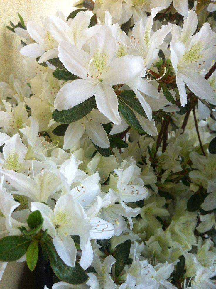 azalea japonica bianca