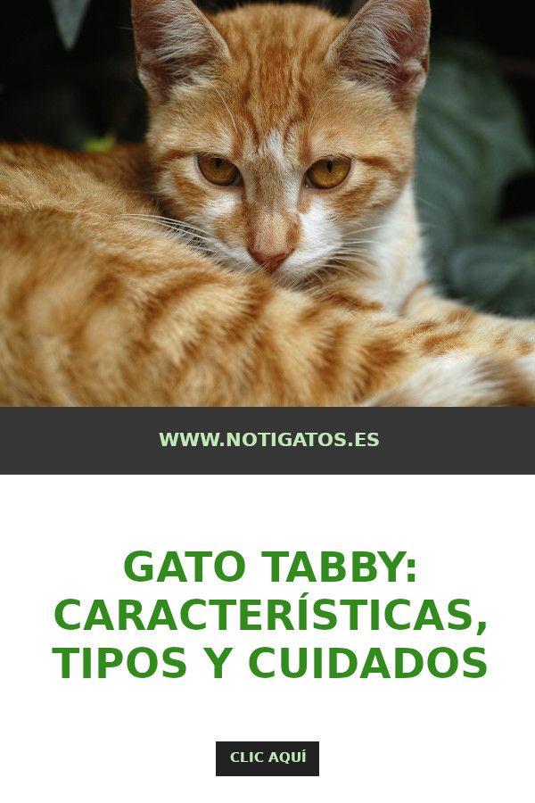 Qué Es Un Gato Tabby Gatos Felinos Animales