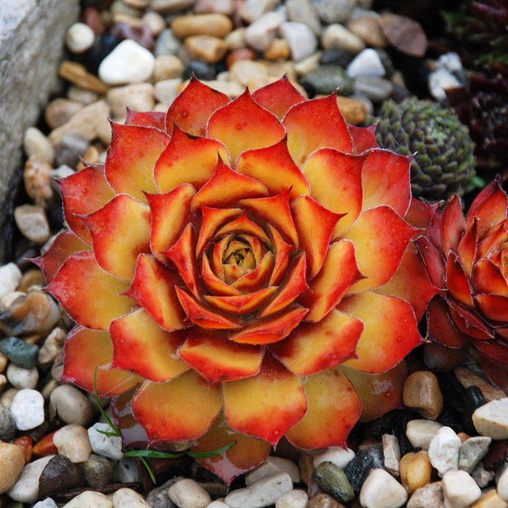 Sempervivum Chick Charms® Gold Nugget