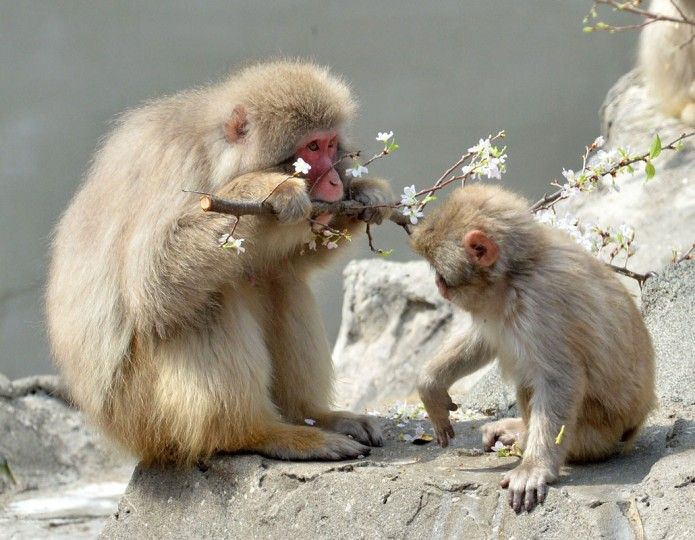 Japanese macaques eat cherry blossoms at Tokyo's Ueno zoological garden on April 2, 2014. The zoo incorporated a cherry tree into the macaqu...Photo credit Yoshikazu Tsuno via baltimoresun #Macaque #Sakura #Cherry_Blossom #Hanami #Tokyo