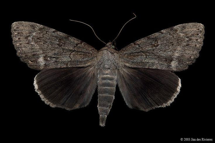 Obscure Underwing (Catocala obscura)- Chaffey's Lock, Ontario - August 28, 2003