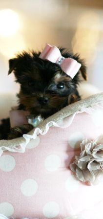 Gail the Yorkie Teacup Puppy