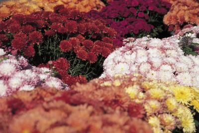 Pots overspilling with brightly colored mums (Chrysanthemum spp.) provide fall color indoors or out. Mums come in a huge range of colors and flower forms, which makes them simple to integrate into ...
