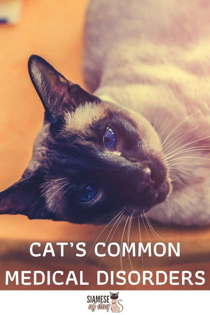 Siamese Cat S Common Medical Disorders Siameseofday In 2020 Cats And Kittens Siamese Cats Cats