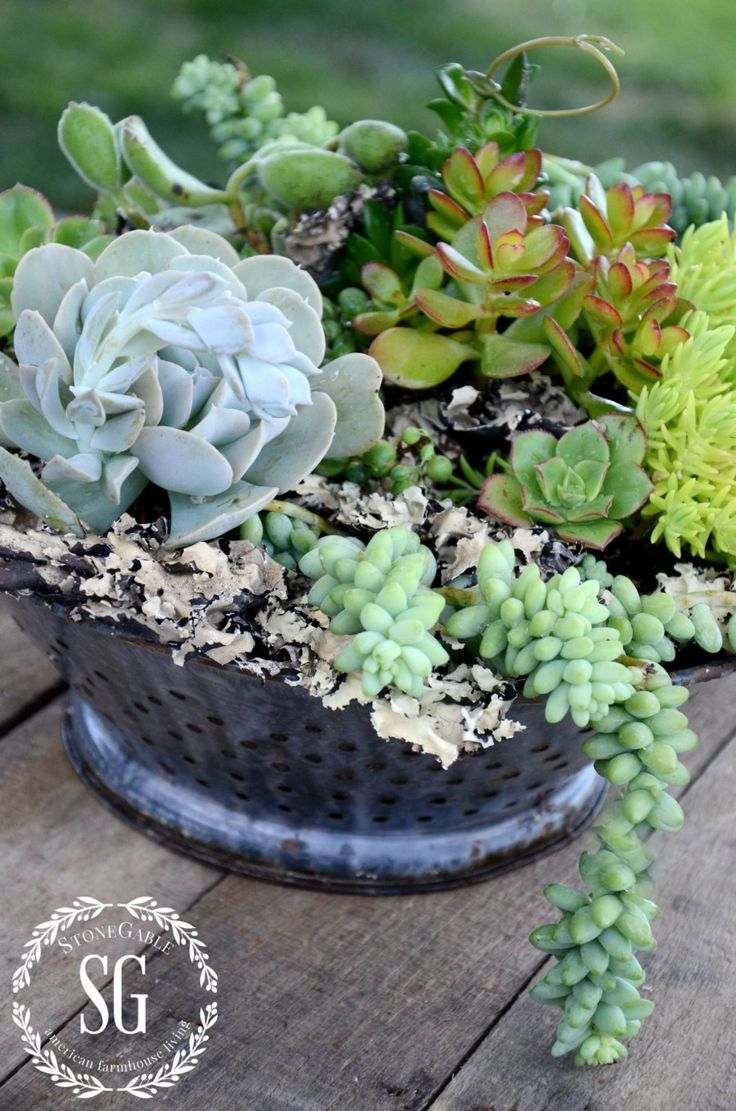 12 best succulents images on pinterest succulents gardening and