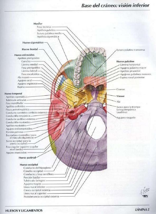 ASOTERCI - CASC: Huesos del Craneo y de la Cabeza | ANATOMIA ...