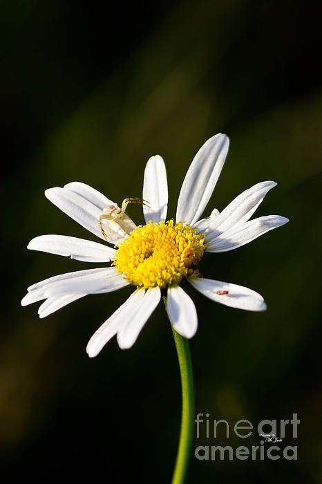 TINY DAISY AND CRAB SPIDER Available in prints, framed prints, canvas prints, acrylic prints, metal prints, greeting cards.