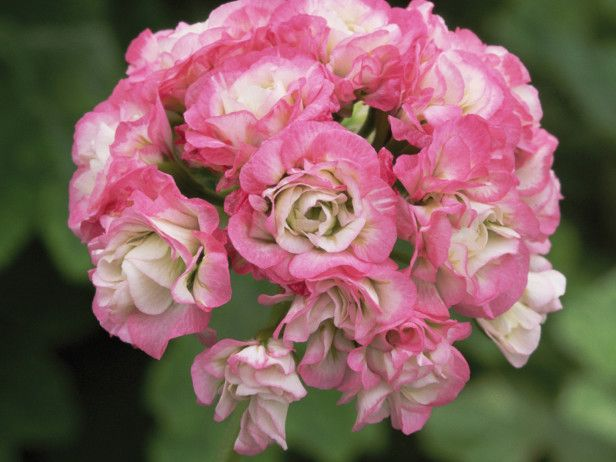 Apple blossom rosebud, a Pelargonium hybrid, packs pink and white petals into umbels that resemble clusters of rosebuds. Grows in full sun, and blooms in spring, summer and fall.