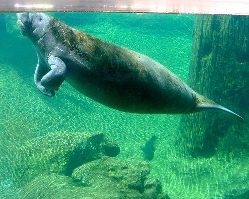 Manatees are pregnant for approx. 13 months (via mnn.com)