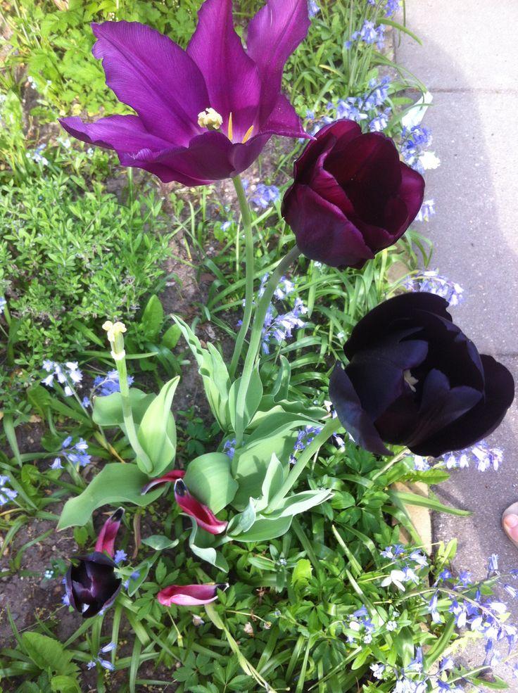 Dark purple tulip - almost black