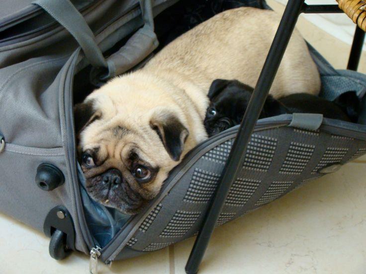 Packable Pugs!