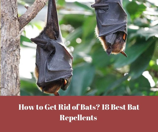 How To Get Rid Of Bats Outside Your House Getting Rid Of Bats Bats In Attic Bat