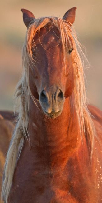 Chestnut horse in sunset glow, one of the wild mustangs still running free…