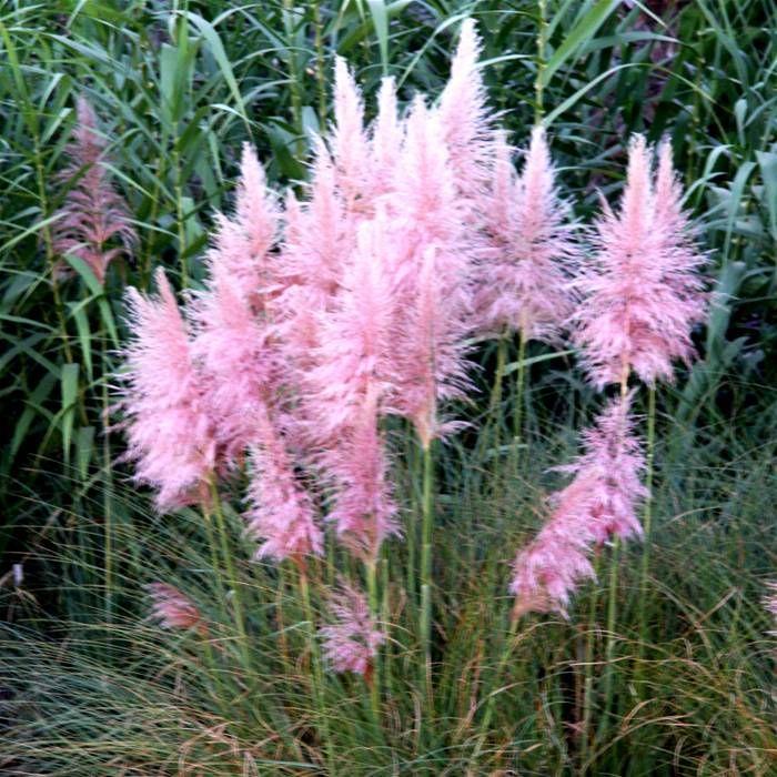 Cortaderia Rosea Pampas Grass Pink - 1 plant