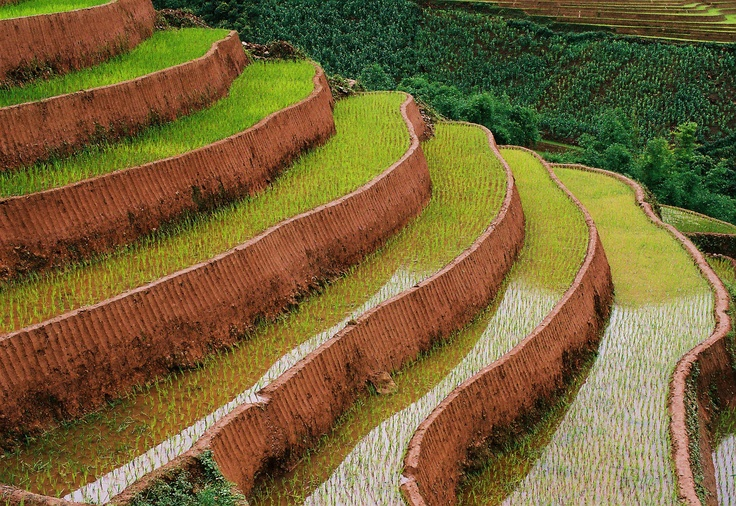 Rice and terraces.