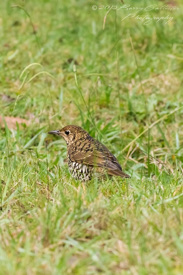 It's hard to find a Bassian Thrush out of the shadows, but I had two playing just meters from me the day I took this.