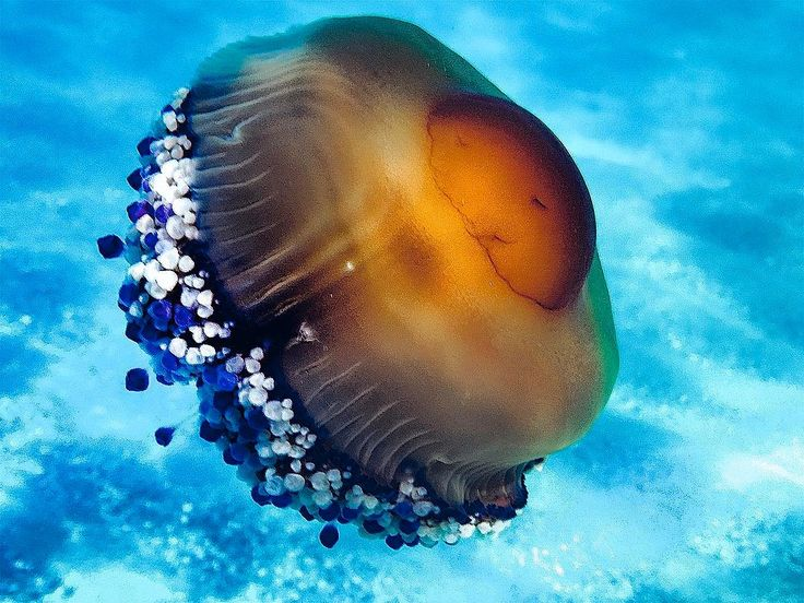 #medusa #jellyfish #sea #summer #beauty #underwater #fauna #medusa #jellyfish #sea #summer #beauty #underwater #fauna
