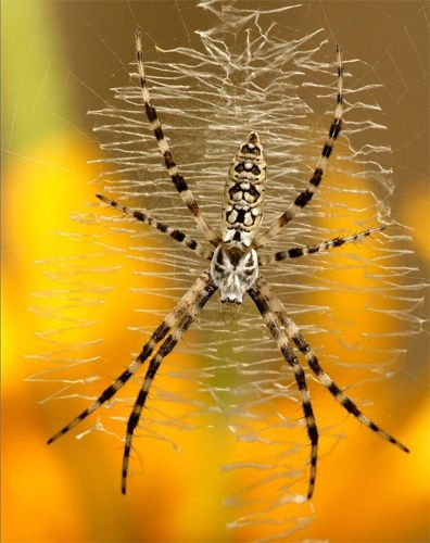 Writing Spider. In North America, Argiope aurantia is commonly known as the black and yellow garden spider, zipper spider, corn spider, and writing spider, because of the similarity of the web to writing. Research - DdO:) - http://www.pinterest.com/DianaDeeOsborne/tiny-miracles/ - Like almost all other spiders, Argiope are harmless to humans. They eat insects up to twice their size. They might bite if grabbed, but do not attack & venom is not serious for humans.