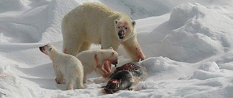 Polar bears are the top predator in the arctic marine ecosystem.  Because the polar bear's body requires a diet based on large amounts of seal fat, they are the most carnivorous member of the bear family.
