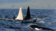 All white killer whale.  Mysteries of the deep....
