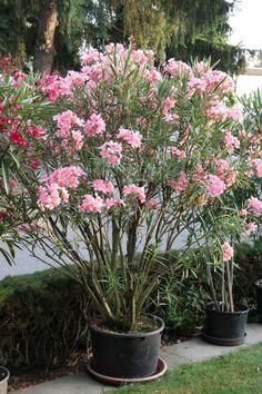 Oleander überwintern