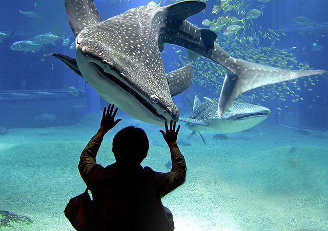 The biggest aquarium in the world: Kaiyukan in Osaka. I want to meet the whale shark too!