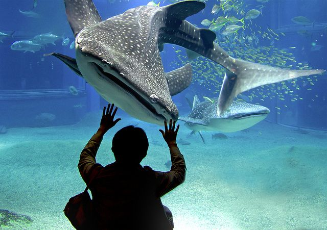 The biggest aquarium in the world: Kaiyukan in Osaka. I want to meet the whale shark too!