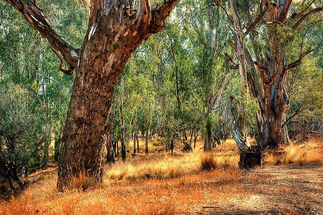 Goulburn Gum Trees