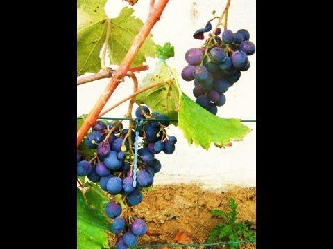 Comment planter et entretenir une vigne ? - Jardinerie Truffaut TV - YouTube