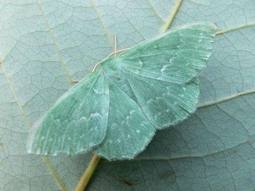 mint…Sussex Emerald Moth...