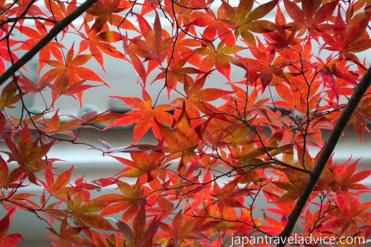 The Autumn colors forecast in Japan starts in the mountains of Hokkaido in mid-September before moving down to Tokyo & Kyoto in mid to late November.