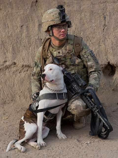 Howard, a Tactical Explosive Detection Dog in Kandahar.These pictures are amazing. So sad this dog probably does more for his country than the average American, yet many government law makers want pitties dead :(
