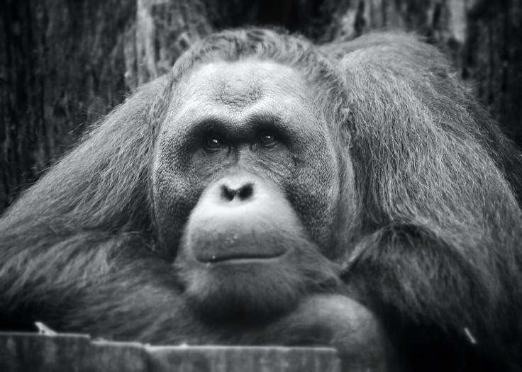 Orangutan - cool