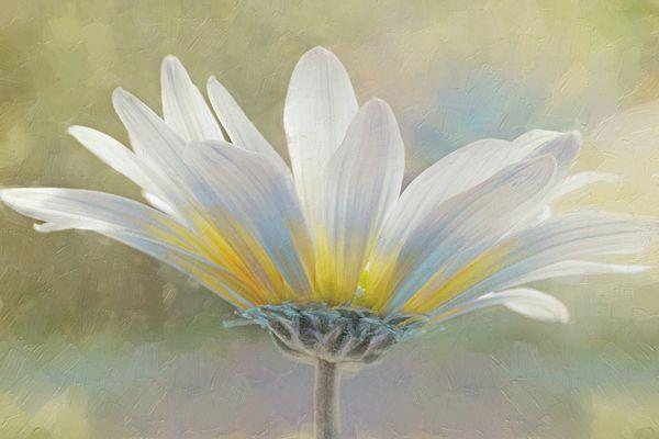 """Golden Sunshine on a Most Splendid Daisy"" ...enhanced photographic print..."