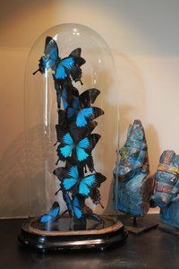 360ºVlinderstolp: 14 Blauwe Vlinders Papilio Ulysse UlysseDeze oude antieke glazen stolp is gevuld met in totaal 14 (!) Blauwe Vlinders, genaamd Papilio Ulysse Ulysse. De randen van de vleugels h...