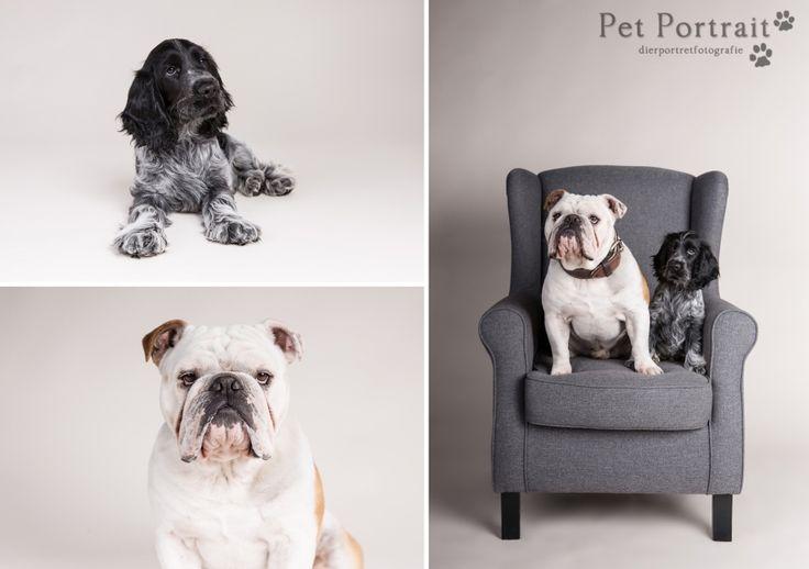 Hondenfotografie Hillegom - Fotoshoot Engelse Bulldog en Cocker Spaniel pup-4
