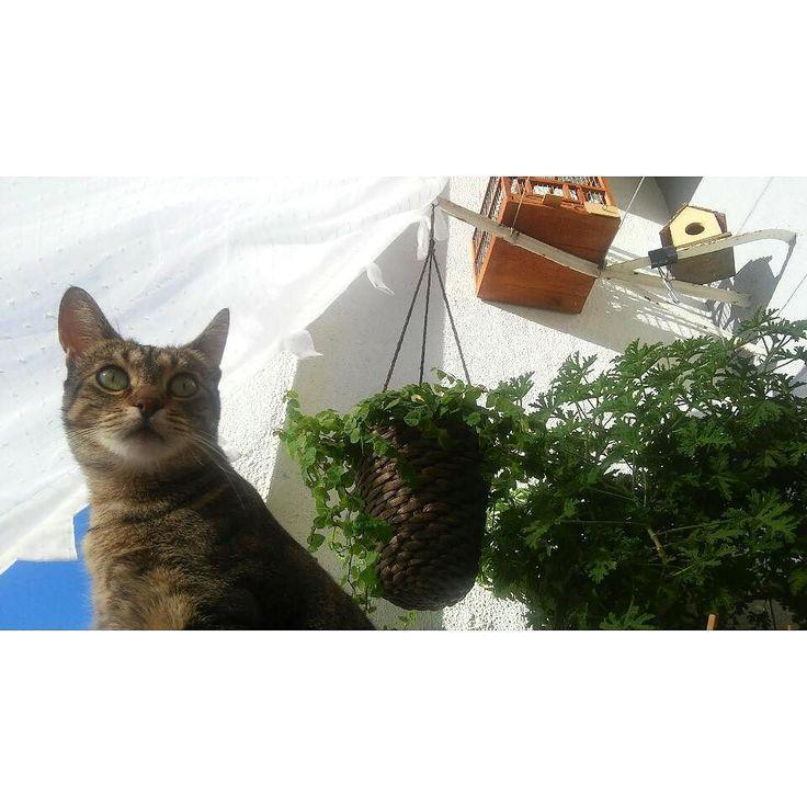 Cmyk  wild thing!! #cmykthecat #catsofinstagram #mycat #furyangel #internationalcatday #catday #cat #petlove #balconycats