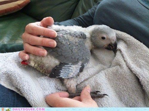Baby African Grey - www.busybird.com adorable