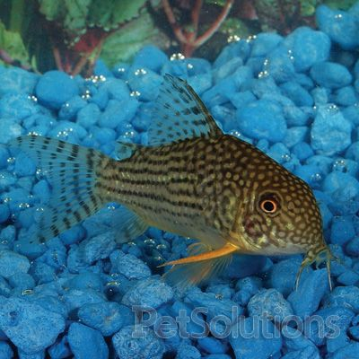 17 best images about cory catfish on pinterest live fish for Freshwater tropical fish online