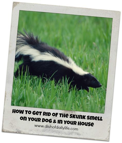 How to Get Rid of the Skunk Smell in Your House & on your Dog