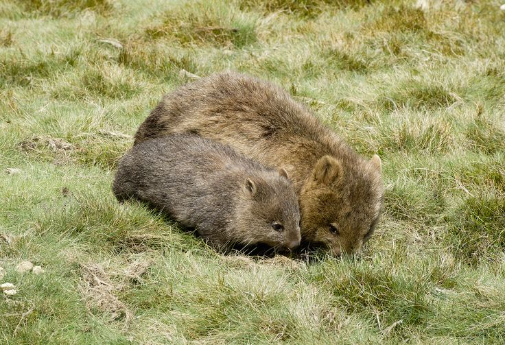 Baby Wombat and its mother. These two were just next to the walking track, Tasmania. www.australianphotos.com.au