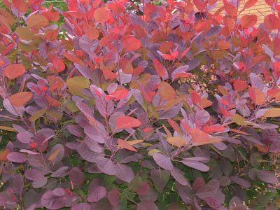 Smoke bush Cotinus 'Grace' - 5 shrubs for Autumn colour