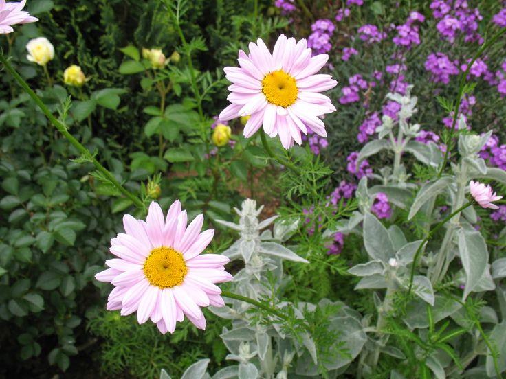 "Roses du jardin de Chêneland: Pyrèthre ""Robinson Pink"""