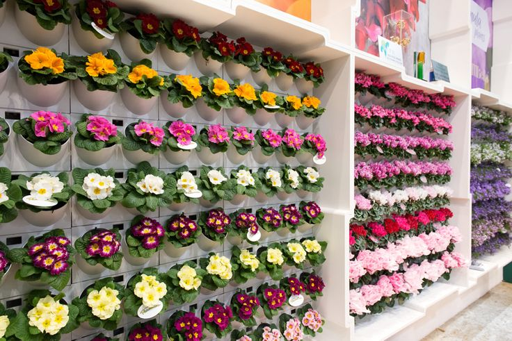 Walls of flowering plants at IPM2016 Primula Paradiso and Cyclamen Super Serie