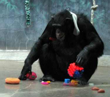 Henry Vilas Zoo - Cooky plays with toys donated through Mounds Pet Food Warehouse.