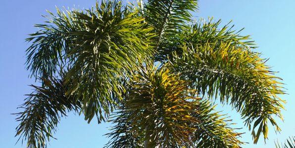 Tips for Growing Magnificent Foxtail Palms (Wodyetia bifurcata) | Palms Online Australia
